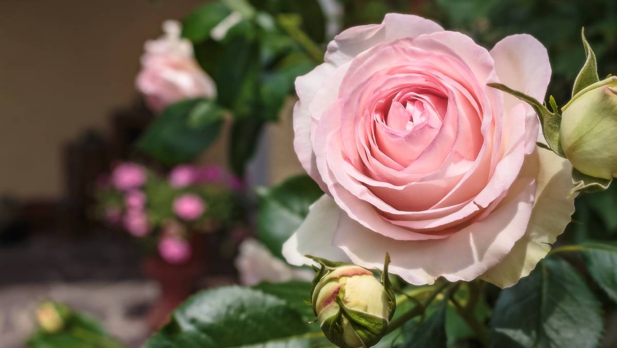 The climbing Pierre de Ronsard rose is one of the most popular roses in the world and it's easy to see why. Picture: Shutterstock