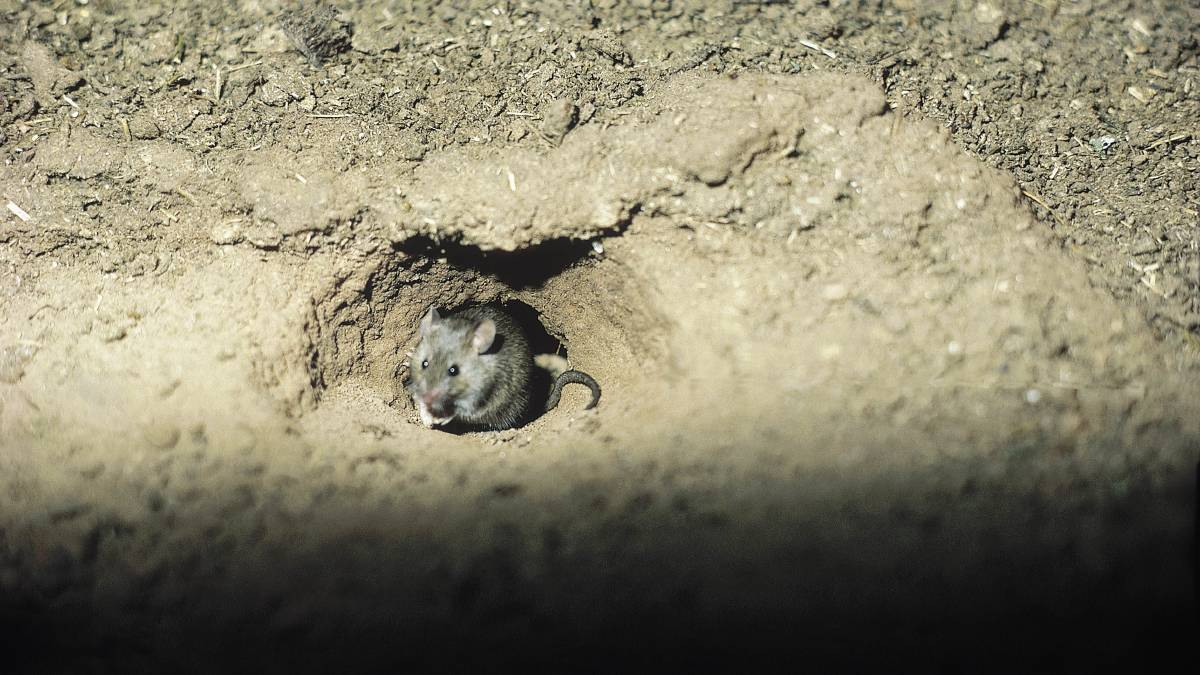 A field mouse ventures out. Photo: NSW DPI